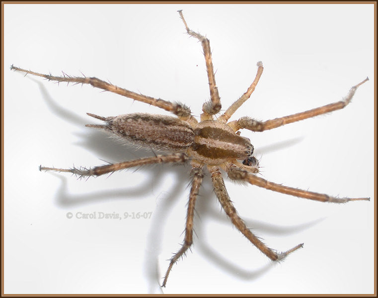 Brown Recluse Spider or Grass